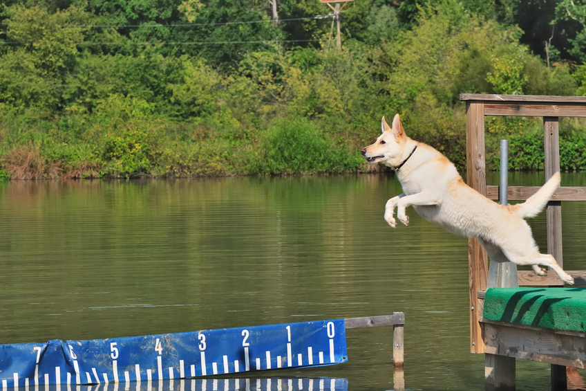 Dog Sports Akron OH | Splash Your Pup - dogdiving1