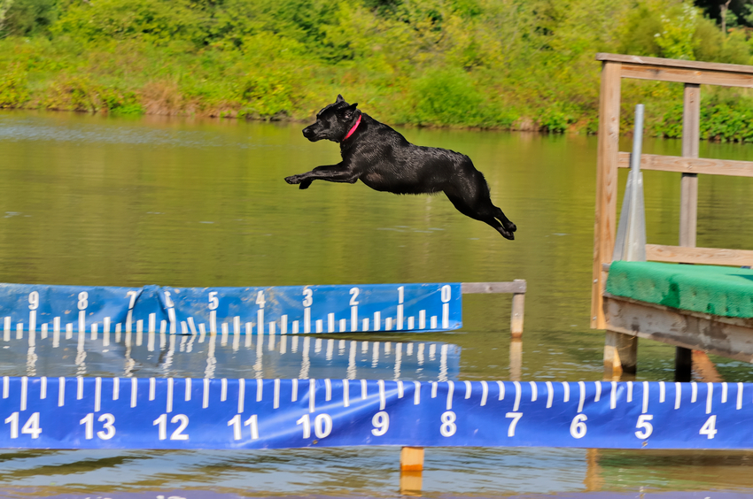 Dog Dock Jumping Westerville OH | Splash Your Pup - dogdiving2
